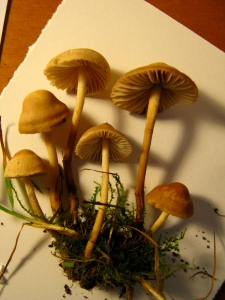 Marasmius oreades, Fairy Ring Mushrooms