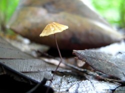 itty bitty Marasmius? coming out of little twigs and leaves
