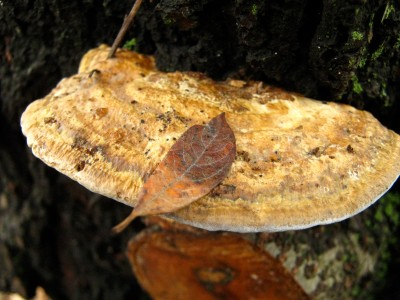 fall perches lightly on this polypore