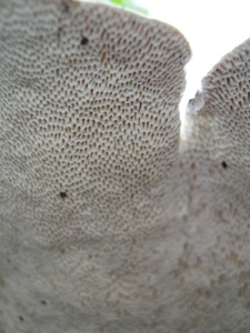 This is the underside of the mystery polypore (previous pic).