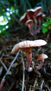 more of the labial mushroom